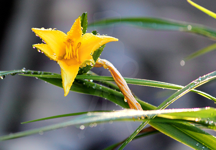 Morning Dew on Yellow Flower